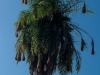De la famille des palmiers